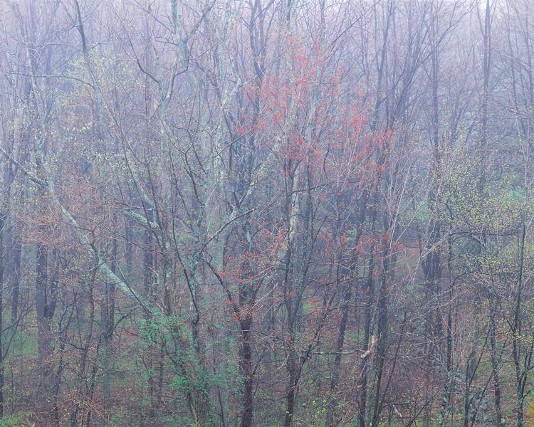 Trees With Buds Near Wyman's Meadow