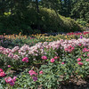 WE VISITED PORTLAND'S ROSE GARDEN.   MOM  WOULD HAVE LOVED IT!   PORTLAND IS KNOWN AS THE CITY OF ROSES.