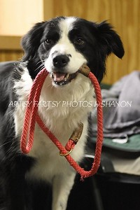 border collie with leash