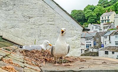 Herring Gulls-Polperro