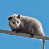 "Day 6 - ""How'd I Get Up Here?""<br /> Just your everyday possum on a powerline. The best lesson here was to always have a camera with you because you never know when a great opportunity will present itself. Hand-held w/VR in a high wind (as seen in his fur) at 300mm."