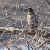 April 11 2014 - Immature Bald Eagle