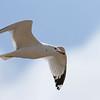 April 30 2014 - Gull
