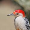 April 12 2014 - Red Bellied Woodpecker