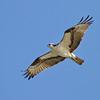 April 10 2014 - Osprey