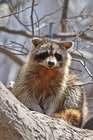 April 14 2014 - Raccoon