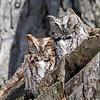 April 2 2014 - Screech Owls