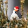 April 16 2014 - Red Bellied Woodpecker