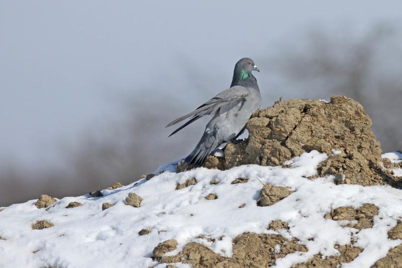 April 9 2014 - Pigeon