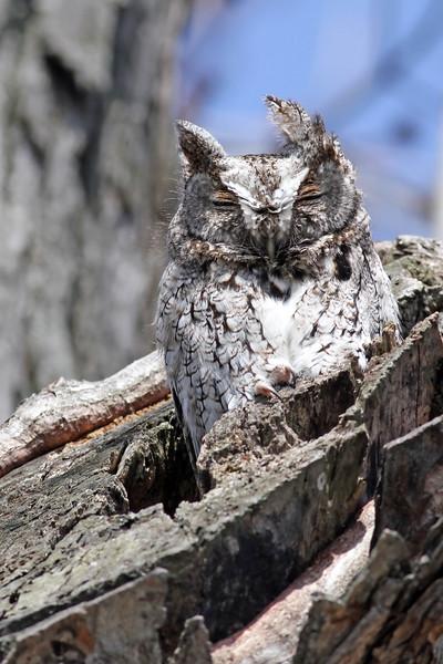 April 18 2014 - Screech Owl