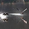 April 27 2014 - Morning Geese