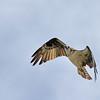 August 25 2014 - Osprey
