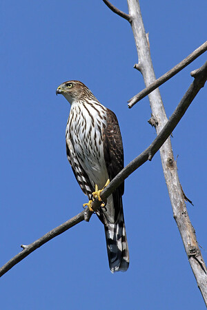 August 31 2014 - Coopers Hawk
