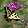 August 20 2014 - Swallowtail