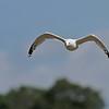 August 24 2014 - Gull