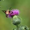 August 17 2014 - Hummingbird Moth