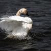 August 15 2014 - Swan