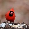 December 25 2014 - Cardinal