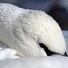 December 18 2014 -  Swan