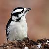 December 27 2014 - Downy Woodpecker
