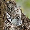 December 13 2014 - Screech Owl