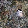 February 4 2014 - Chickadee