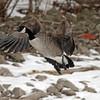 February 5 2014 - Goose
