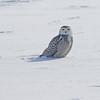February 14 2014 - Snowy Owl