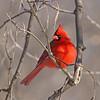 February 24 2014 - Northern Cardinal (Male)