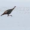 February 22 2014 - Wild Turkey