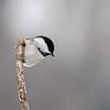 February 16 2014 - Chickadee