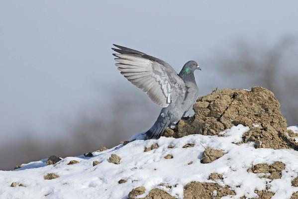 February 20 2014 - Pigeon