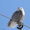 February 23 2014 - Snowy Owl