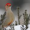 February 6 2014 - Red Bellied Woodpecker
