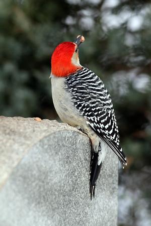 February 19 2014 - Red Bellied Woodpecker