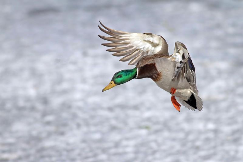 February 28 2014 - Mallard Landing