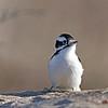 January 3 2014 - Female Downy Woodpecker