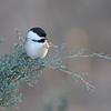 January 1 2014 - Chickadee
