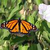 July 8 2014 - Monarch