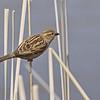 June 15 2014 - Sparrow