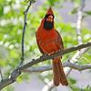 June 25 2014 - Northern Cardinal