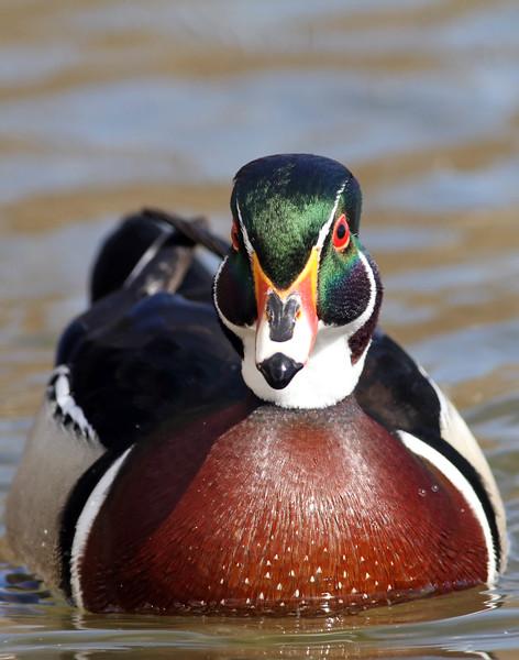June 11 2014 - Wood Duck