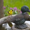 June 22 2014 - Goldfinch