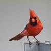 June 21 2014 - Northern Cardinal