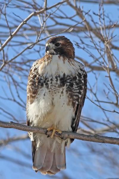 March 22 2014 - Hawk