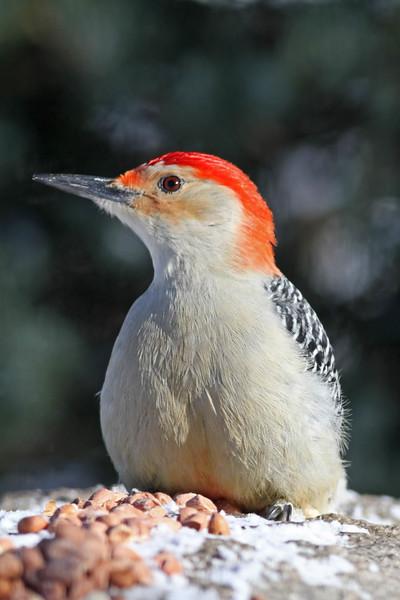 March 30 2014 - Red Bellied Woodpecker