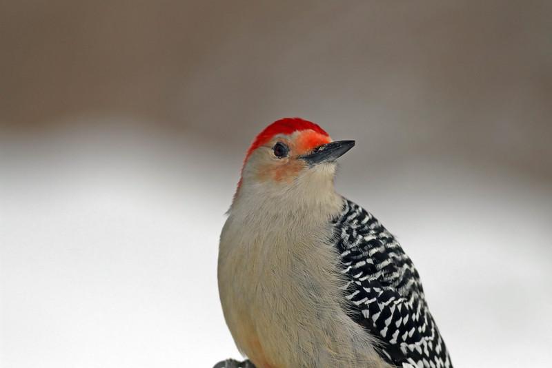 March 18 2014 - Red-Bellied Woodpecker
