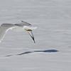 March 10 2014 - Gull