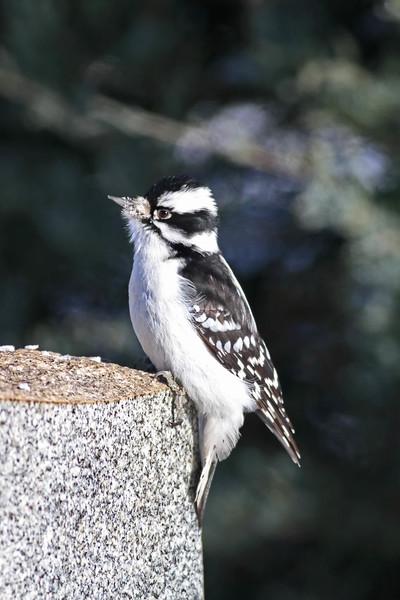 March 25 2014 - Downy Woodpecker