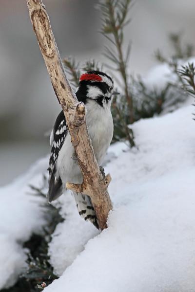 March 6 2014 - Downy Woodpecker (Male)